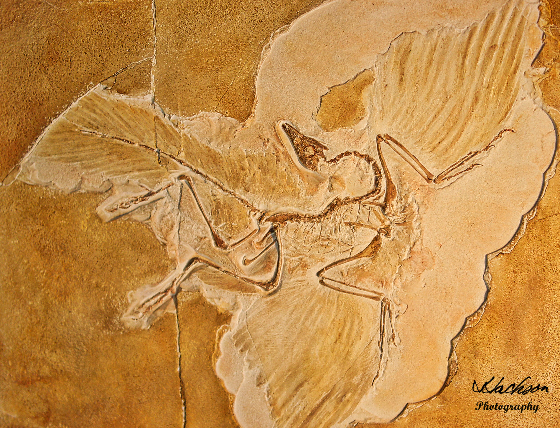 Photo of Solnhofen Bird evolved from a lizard