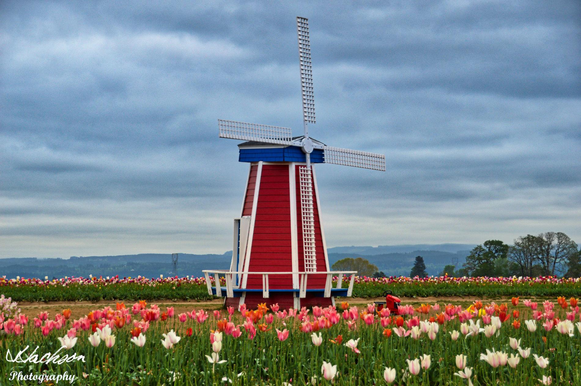 Photo of a Dutch windmill in Oregon tulip farm