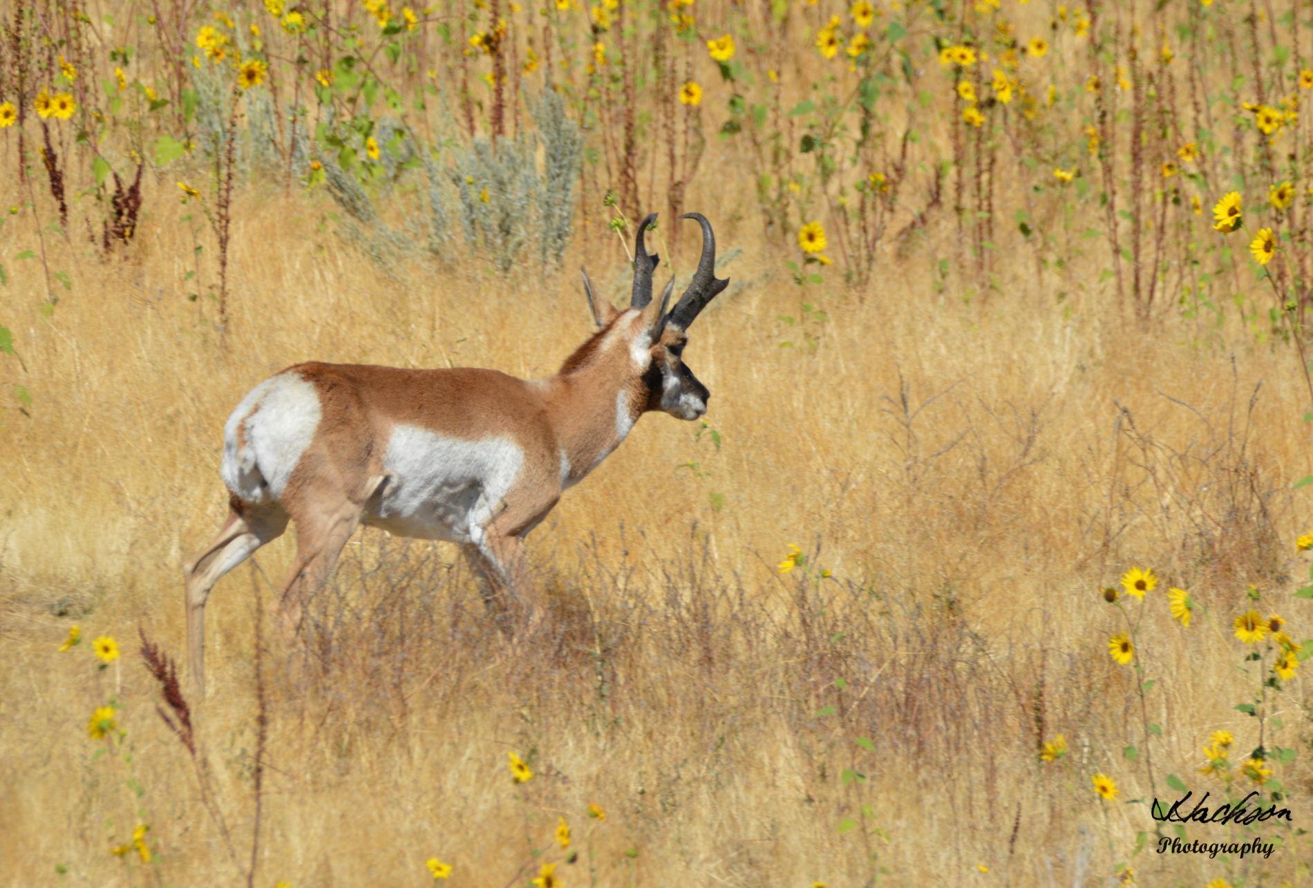 Photo of Pronghorn Antelope on Antelope Island